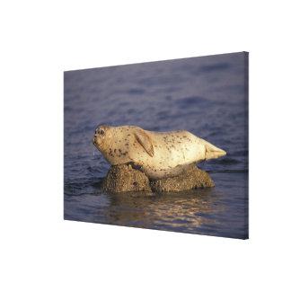 N.A., USA, California, Monterey.  Harbor Seal Canvas Print