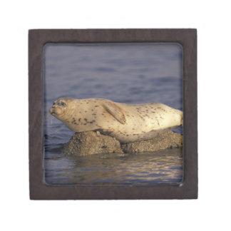 N.A., USA, California, Monterey.  Harbor Seal Jewelry Box