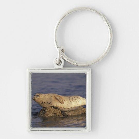 N.A., USA, California, Monterey.  Harbor Seal Keychain