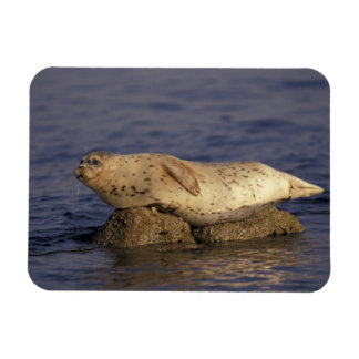 N.A., USA, California, Monterey.  Harbor Seal Magnet