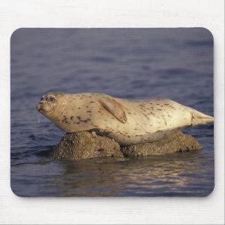 N.A., USA, California, Monterey.  Harbor Seal Mouse Pad