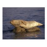 N.A., USA, California, Monterey.  Harbor Seal Postcard