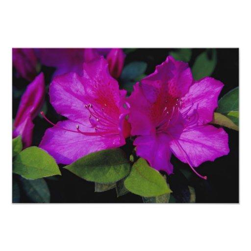 N.A. USA, Georgia, Savannah. Azalea in bloom. Photo Print