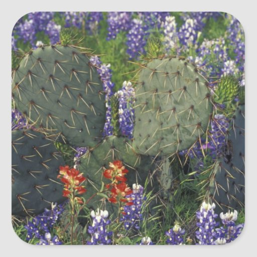 N.A., USA, Texas, Cactus surrounded by Square Sticker