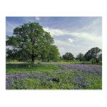 N.A, USA, Texas, Lake Buchanan, Oaks and Blue Postcard