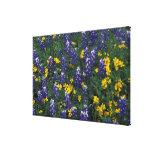 N.A, USA, Texas, Marble Falls, Blue Bonnets Canvas Print