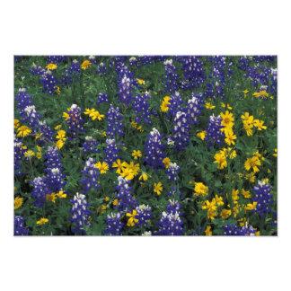 N.A, USA, Texas, Marble Falls, Blue Bonnets Art Photo