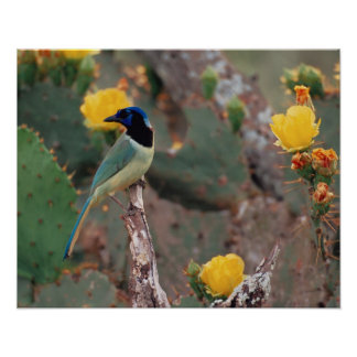 N.A., USA, Texas, South Texas Green Jay - Poster