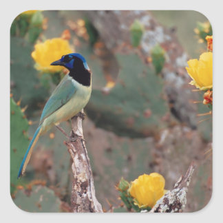 N.A., USA, Texas, South Texas Green Jay - Square Stickers