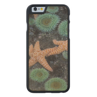 N.A., USA, Washington, Olympic National Park, 2 Carved® Maple iPhone 6 Case