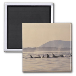 N.A., USA, Washington, San Juan Islands Orca 2 Inch Square Magnet