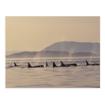 N.A., USA, Washington, San Juan Islands Orca Postcard