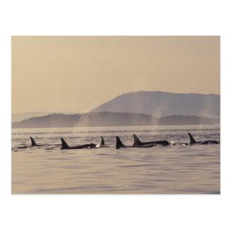 N.A., USA, Washington, San Juan Islands Orca Postcard