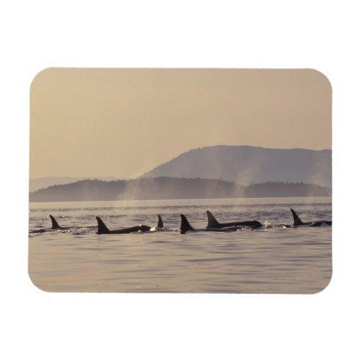 N.A., USA, Washington, San Juan Islands Orca Rectangular Magnet