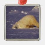 NA, Canadá, Manitoba, Churchill, oso polar Adorno Navideño Cuadrado De Metal