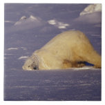 NA, Canadá, Manitoba, Churchill, oso polar Azulejo Cuadrado Grande