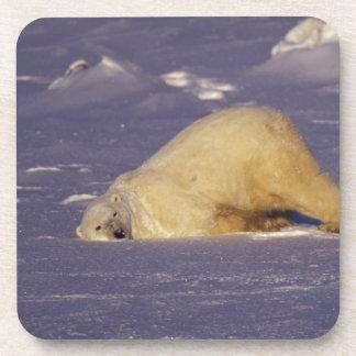 NA, Canadá, Manitoba, Churchill, oso polar Posavasos