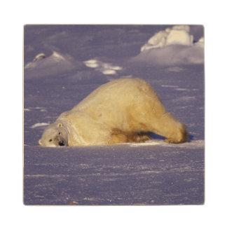NA, Canadá, Manitoba, Churchill, oso polar Posavasos De Madera