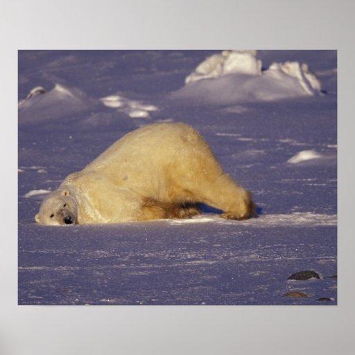 NA, Canadá, Manitoba, Churchill, oso polar Póster