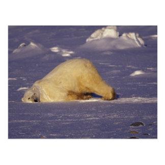 NA, Canadá, Manitoba, Churchill, oso polar Postales