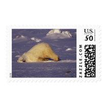 NA, Canada, Manitoba, Churchill, Polar bear Postage