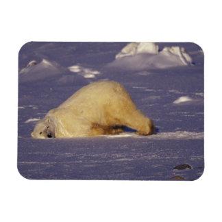 NA, Canada, Manitoba, Churchill, Polar bear Rectangle Magnet