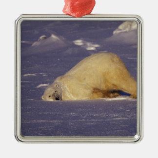 NA, Canada, Manitoba, Churchill, Polar bear Square Metal Christmas Ornament