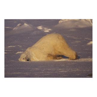 NA, Canada, Manitoba, Churchill, Polar bear Wood Canvases