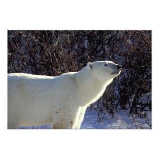 NA Canadá Manitoba Churchill Un oso polar Fotografía