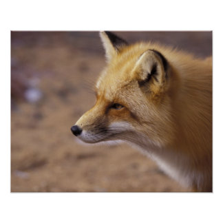 NA, Canada. Red Fox Poster