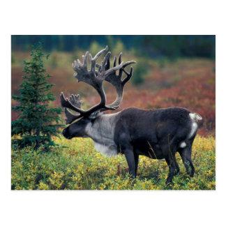 NA, los E.E.U.U., Alaska, Denali NP, caribú 3 de Postales