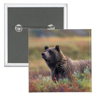 NA, los E.E.U.U., Alaska, Denali NP, oso grizzly Pin Cuadrada 5 Cm