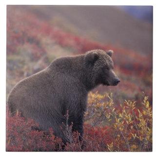 NA, los E.E.U.U., Alaska, Denali NP. Un grisáceo f Azulejo Cuadrado Grande