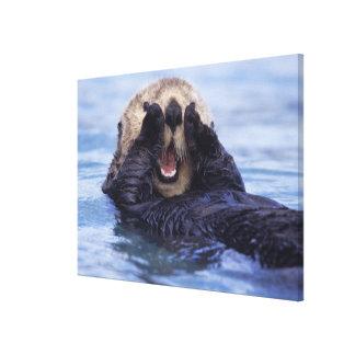 NA, los E.E.U.U., Alaska. Las nutrias de mar son l Lienzo Envuelto Para Galerias