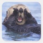 NA, los E.E.U.U., Alaska. Las nutrias de mar son Calcomanías Cuadradas Personalizadas
