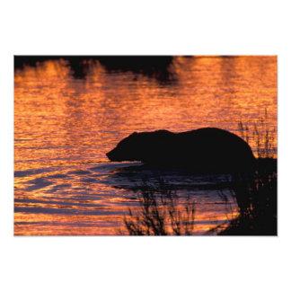 NA, los E.E.U.U., Alaska, oso grizzly Arte Fotográfico