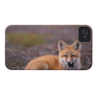 NA, los E.E.U.U., Alaska, zorro rojo, vulpes del iPhone 4 Carcasas
