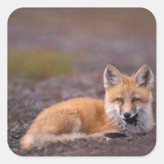 NA, los E.E.U.U., Alaska, zorro rojo, vulpes del Pegatina Cuadrada