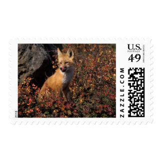 NA, los E.E.U.U., Alaska, zorro rojo, vulpes del Franqueo
