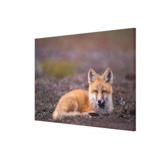 NA, los E.E.U.U., Alaska, zorro rojo, vulpes del V Impresiones En Lona Estiradas