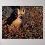 NA, los E.E.U.U., Alaska, zorro rojo, vulpes del V Posters