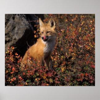 NA, los E.E.U.U., Alaska, zorro rojo, vulpes del V Póster