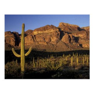 NA, los E.E.U.U., Arizona. Nacional 2 del cactus d Tarjeta Postal