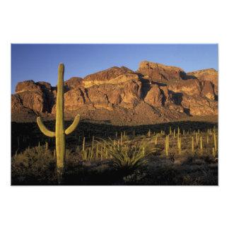 NA, los E.E.U.U., Arizona. Nacional 3 del cactus d Arte Fotografico