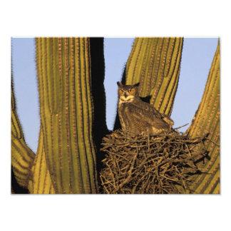 NA, los E.E.U.U., Arizona, Tucson. Gran búho de cu Cojinete