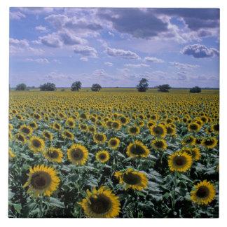NA, los E.E.U.U., Kansas, cosecha del girasol Azulejo Cuadrado Grande