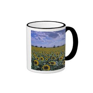 NA, los E.E.U.U., Kansas, cosecha del girasol Taza De Dos Colores