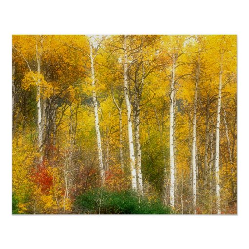 NA, los E.E.U.U., Washington, árboles de Aspen de  Impresiones