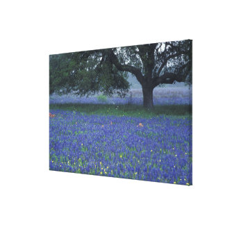 NA, Texas, Devine, Oak and blue bonnets Gallery Wrapped Canvas