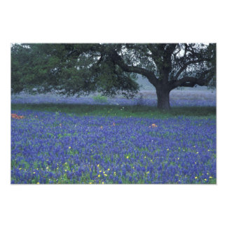 NA, Texas, Devine, Oak and blue bonnets Photo Print